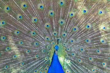 male peacock on the background of its tail close-up