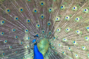 male peacock with beautiful tail. horizontal