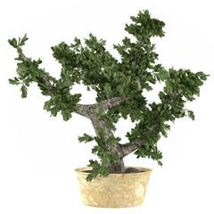 Bonsai tree in the pot