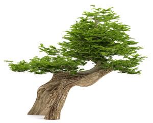 Exotic tree. Bonsai