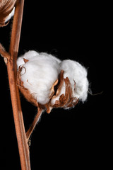 Detail shot of a cotton blossom