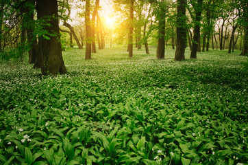 Wild garlic on the forest