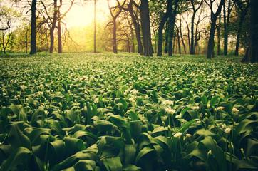 Wild garlic on the forest