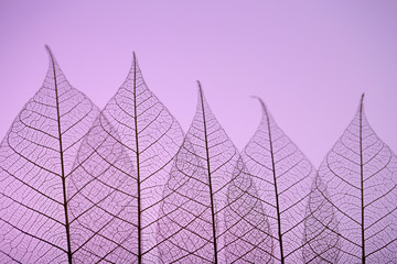 Skeleton leaves on purple background, close up