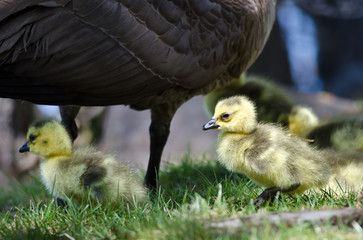 Newborn Goslings Staying Close to Mom