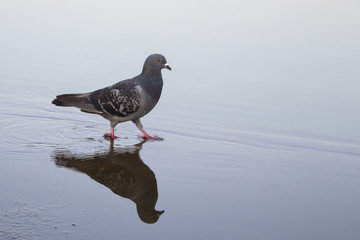 Pigeon walking on the river, Shadow, mirror, reflection