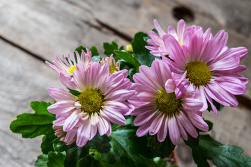 Pink chrysanthemums on rustic wood background