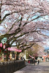 CHERRY BLOSSOM IN  FUJINOMIYA CITY, JAPAN