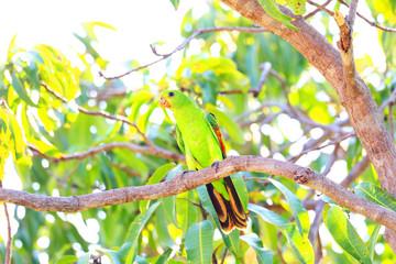 Red-winged Parrot (Aprosmictus erythropterus) in Darwin,Australi