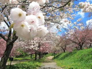 桜公園の八重桜