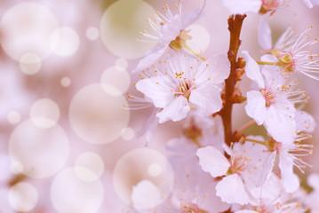 Blooming mirabelle plum tree