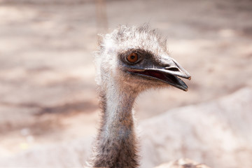 Portrait of Ostrich head close up or Australian Emu (Dromaius no