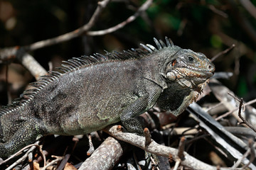 Guadeloupe - Iguane Antillais