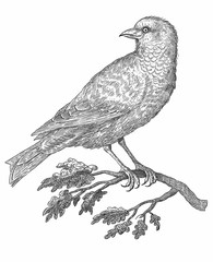 Bird - vintage engraved illustration