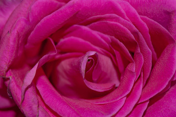 pink rose texture