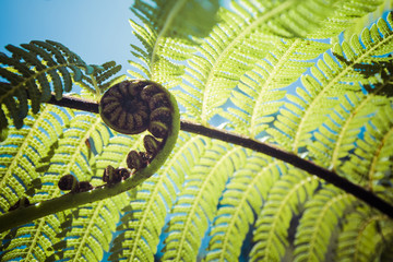 Tuinposter Nieuw Zeeland Unravelling fern frond closeup, one of New Zealand symbols.