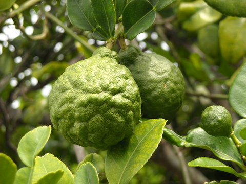 bergamot fruit on the tree