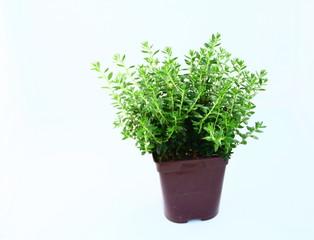 plante,en,pot,bruyère,isolé,fond blanc