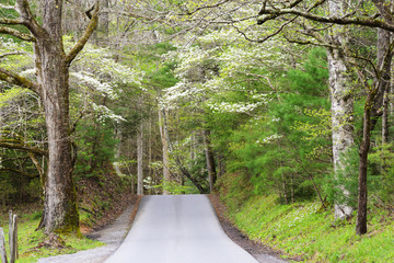 Dogwoods frame a mountain road in the Smokies
