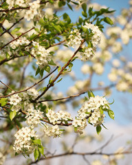 Spring Blossom of Bird Cherry. White Flowers Outdoor