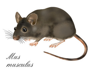 mus musculus, mouse
