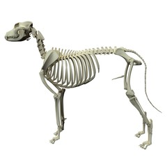 Dog Skeleton Anatomy - Anatomy of a Male Dog Skeleton