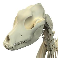 Dog Skull Anatomy - Anatomy of a Male Dog Skull