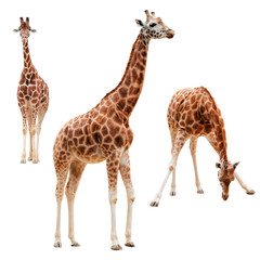 Photo sur Aluminium Girafe Three giraffe in different positions isolated with clipping path