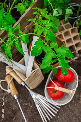 tomaten pflanzen selbst ziehen stockfotos und lizenzfreie bilder auf bild 82266159. Black Bedroom Furniture Sets. Home Design Ideas