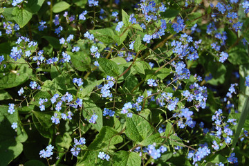 Omphalodes verna flowers