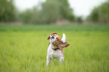 Beagle dog shaking his head