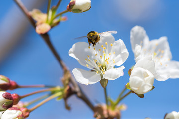 bee in blossoming