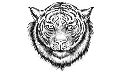 Tiger Head Drawing
