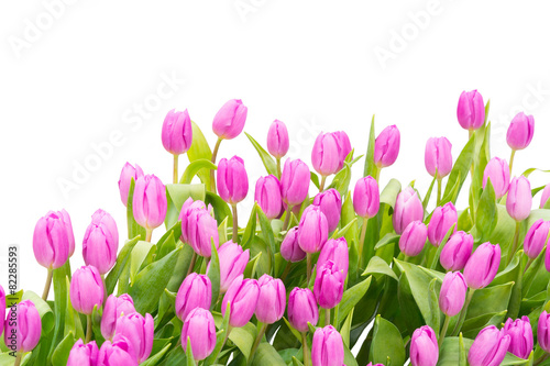 Wall mural tulip isolated