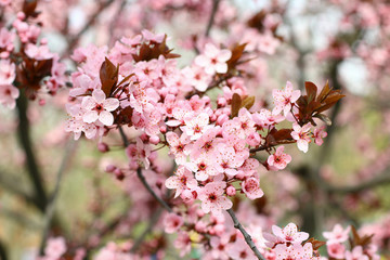 Spring blooming plum flowers.