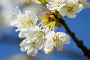Bunches of cherry blossom.