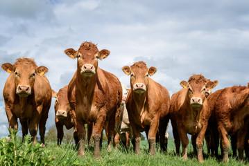 vaches brunes