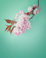 Cherry blossom flowers on a turquoise background