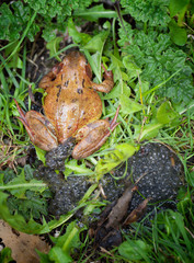 A garden frog in the green grass with its frogspawn