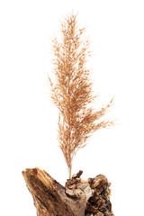reeds on the stump