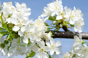 Sweet cherry tree in blossom (Prunus avium)