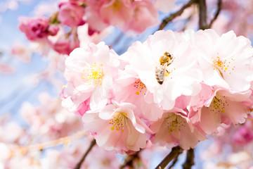 biene in einem kirschblütenbaum