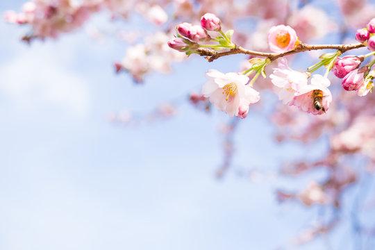 knospen vom kirschblüten