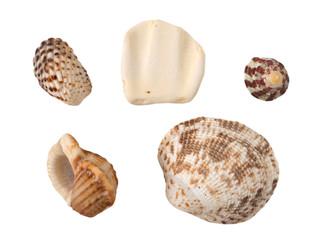 Seashells isolated on the white background