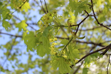 Sunny spring maple