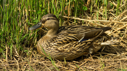 Wild duck sitting in the grass observing the others