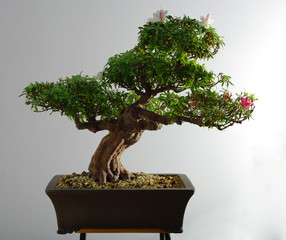 Bonsai azalea after the spring bloom and partial pruning