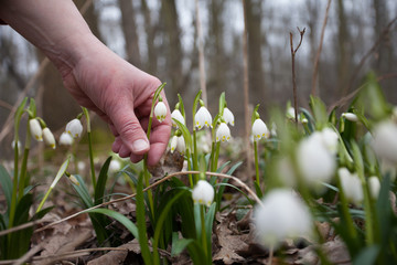 Man about to pick a protected snowflake spring flowers in forest