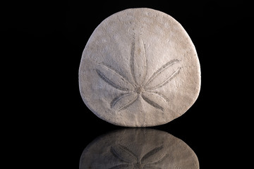 Sand dollar with reflection and black background
