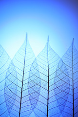 Keuken foto achterwand Decoratief nervenblad Skeleton leaves on blue background, close up